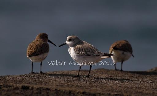 Pilrito-das-praias (centro) e pilritos-de-peito-preto no Porto de Madalena (Foto: Valter Medeiros)