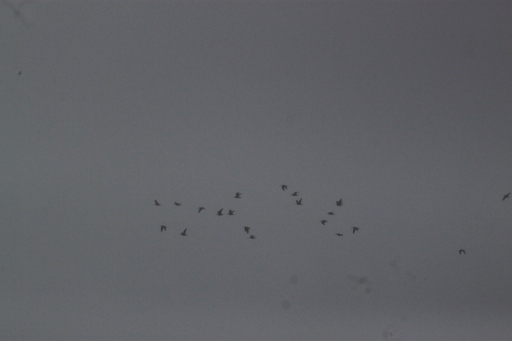 Bando de narcejas-comuns na zona sul do Aeroporto de Santa Maria (Foto: Nélson Moura)
