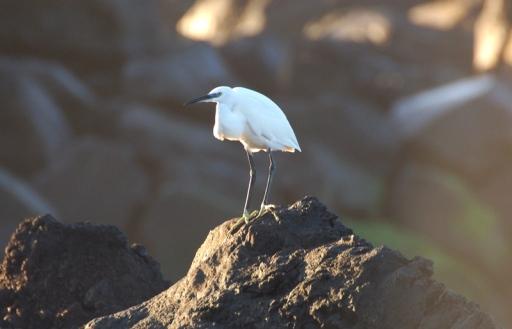 Garça-branca-pequena (Foto: Nuno Bicudo da Ponte)