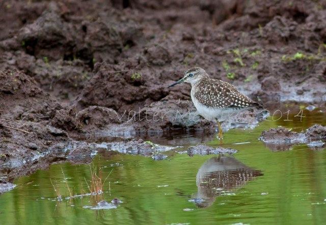 Maçarico-bastardo na Lagoa do Landroal (Foto: Valter Medeiros)
