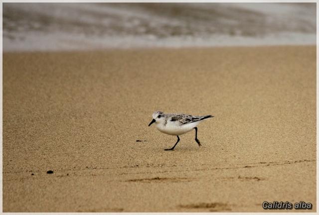 Pilrito-das-praias na Praia da Riviera (Foto: Susana Ázera)